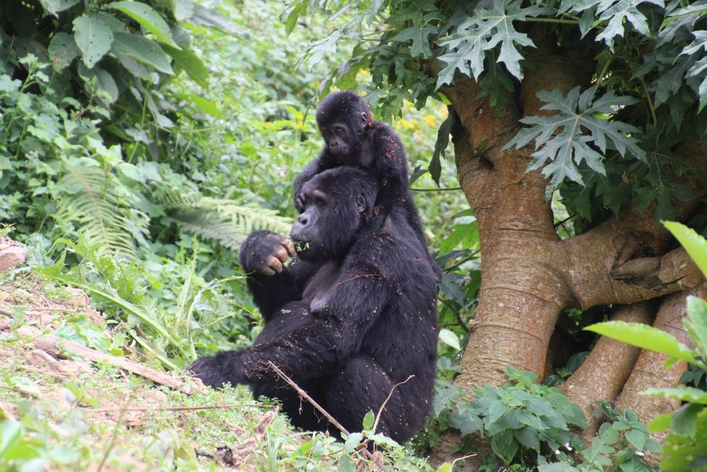 Berggorillas im Bwindi Nationalpark